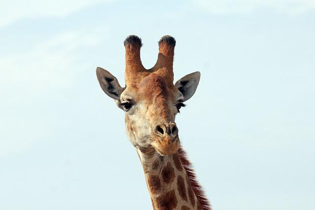 South African Giraffe  (Giraffa camelopardalis giraffa)  Южноафриканский жираф
