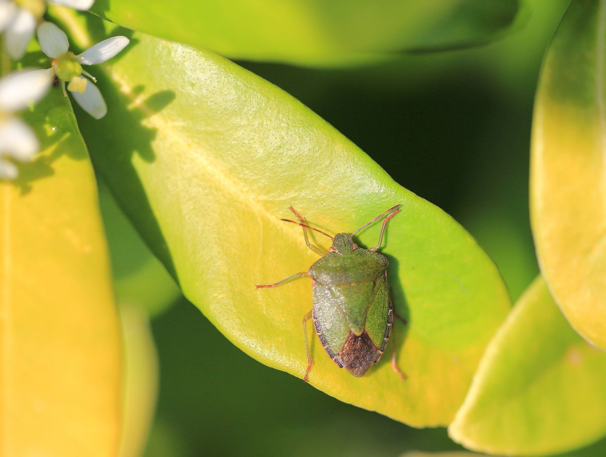 Green shield bug / groene schildwants