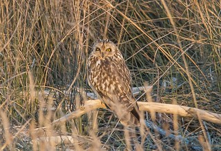 Short-Eared Owl at Black Rock