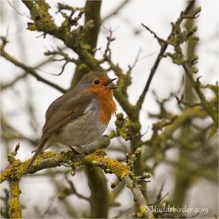 Robin | by Huddsbirder