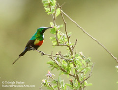 Beautiful Sunbird male nectaring