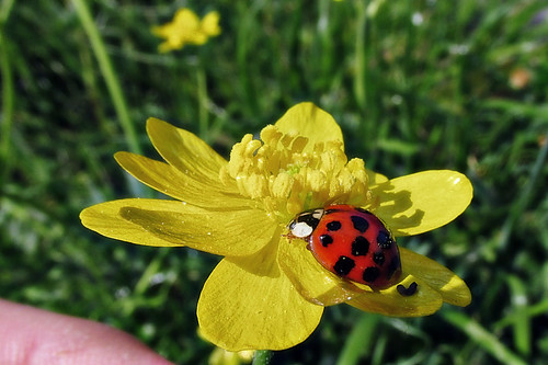 Buttercup and lady beetle
