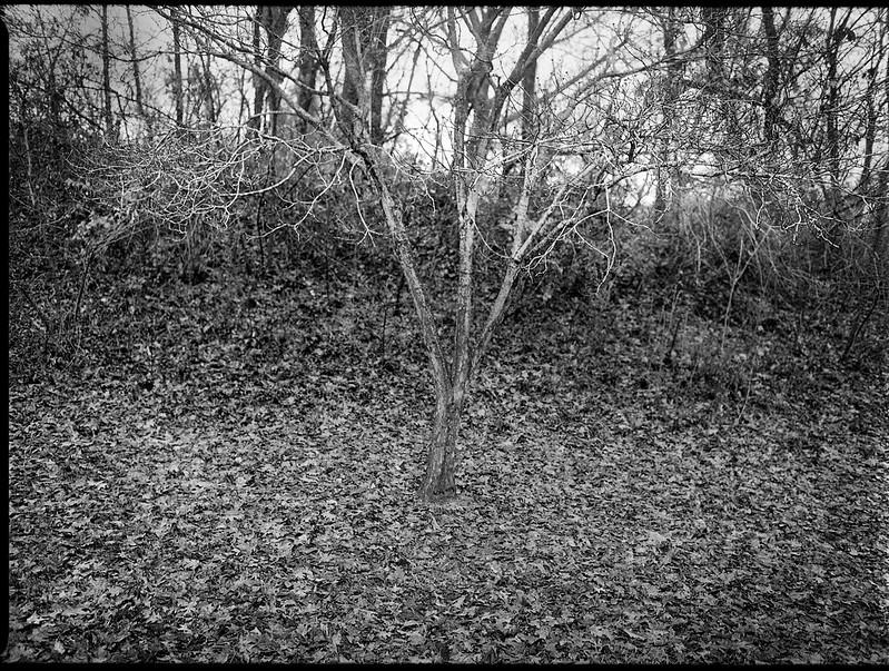 bare tree, rain, Winter Solstice, West Asheville Park, Asheville, North Carolina, Mamiya 645 Pro, mamiya sekor 45mm f-2.8, Kodak TriX 400, Ilford Ilfosol 3 developer, 12.21.18