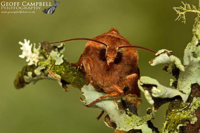 Red Chestnut (Cerastis rubricosa)