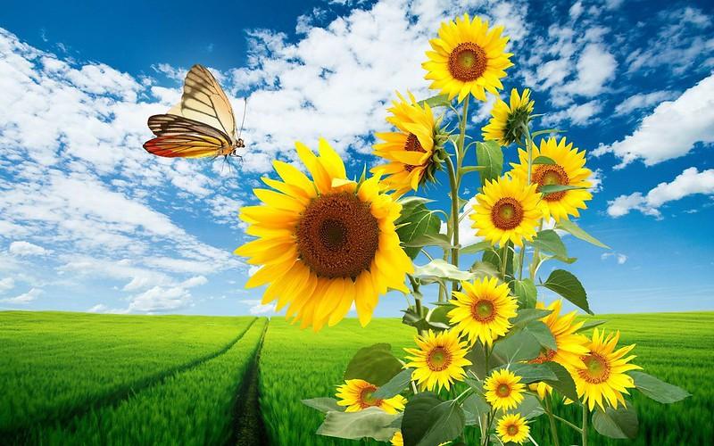 Обои поле, подсолнухи, бабочка картинки на рабочий стол, раздел цветы - скачать