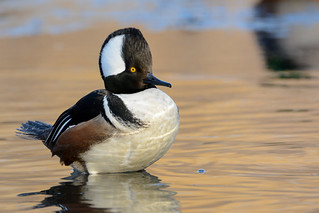 Hooded Merganser (M) | by JDA-Wildlife