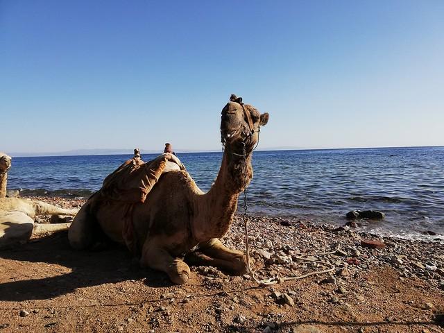 Relaxing Camel