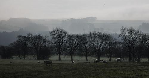 some morning sheep