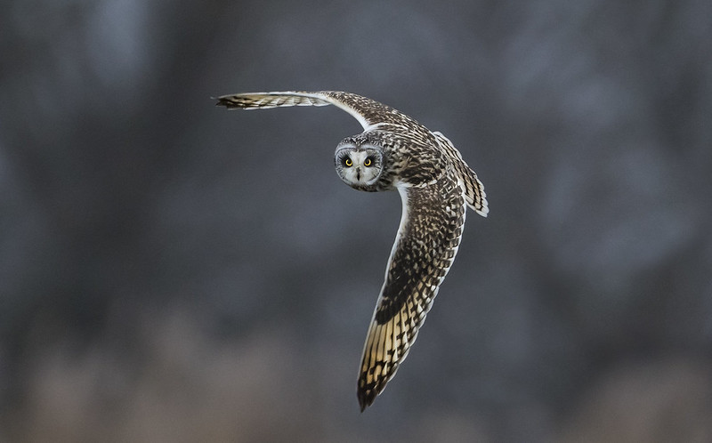 Short-Eared Owl - Those eyes will follow you around the room