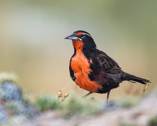 Loica común - PN Quebrada del Condorito
