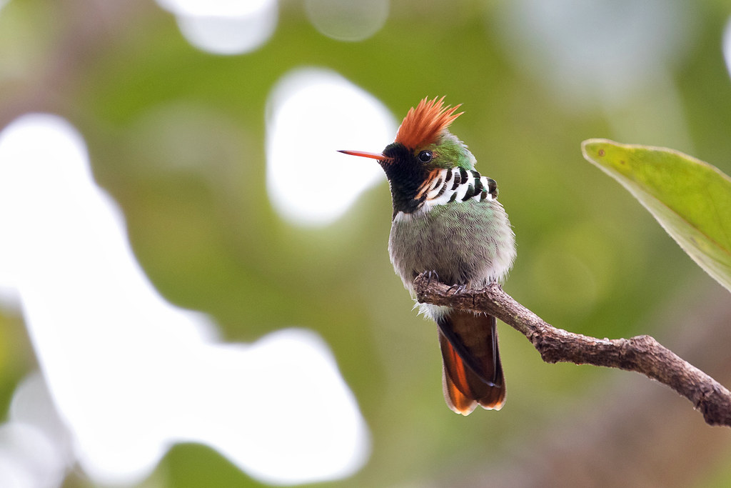 Frilled Coquette (Lophornis magnificus) - male