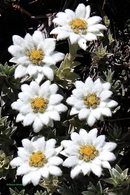 Leucogenes leontopodium Edelweiss Growing on the Rocks