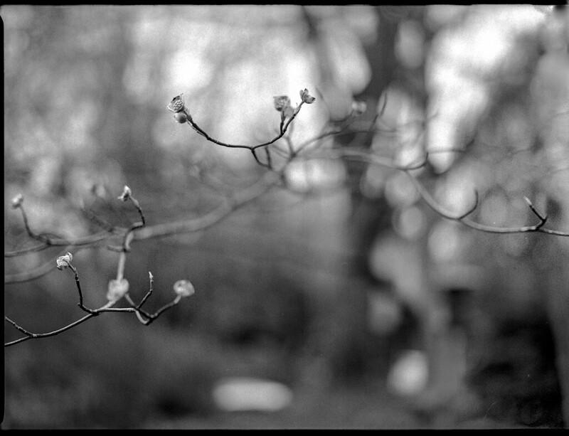 emerging dogwood blossoms, yard, Asheville, NC, Mamiya 645 Pro, mamiya sekor 80mm f-2.8, 4.5.19