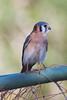 American Kestrel by gbarrow30305