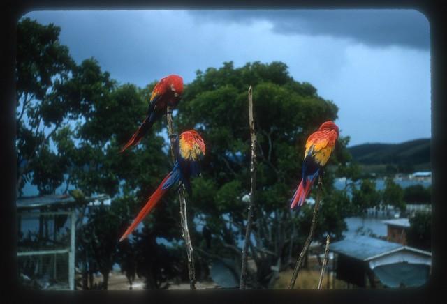 FJO437--Birds in cage at La Parguera