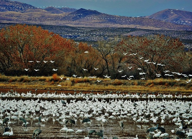 Snow Geese Flying Off From Spending Night At Pond