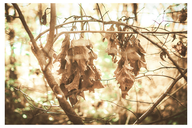 Brown Leaves in Sunlight - Mt Airy - PA_Web R_Scaled-Q
