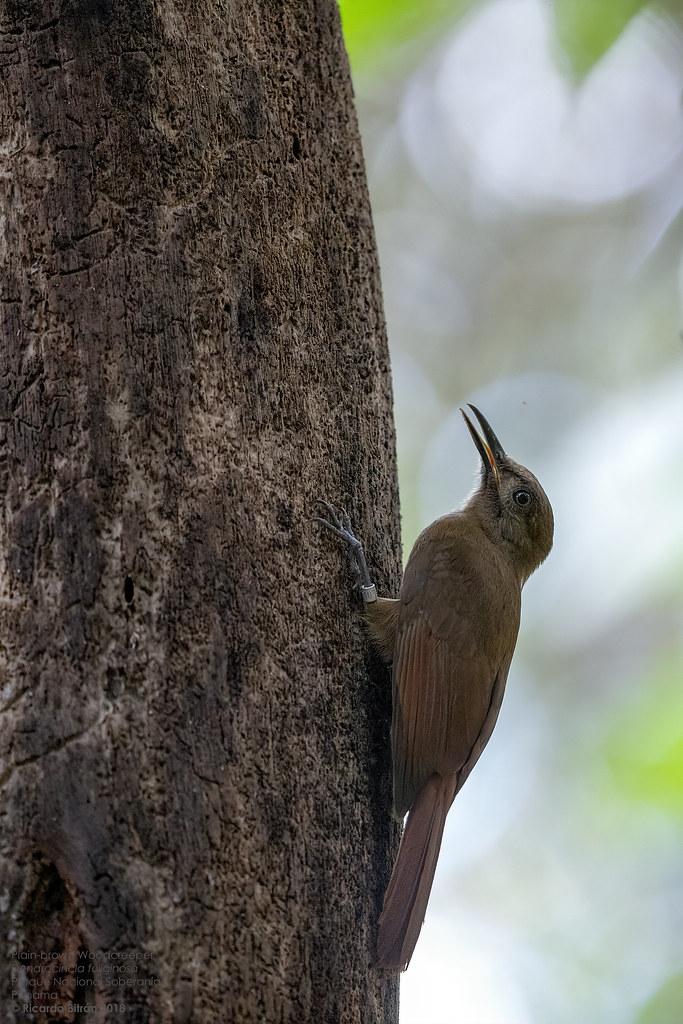 Plain-brown Woodcreeper (Dendrocincla fuliginosa) Parque Nacional Soberanía, Panama 2018