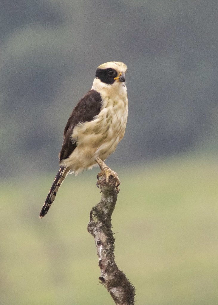 Laughing Falcon_28A2043