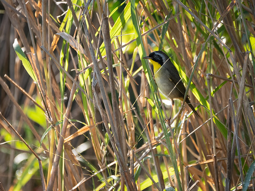 Common Yellowthroat | by Ed Rosack