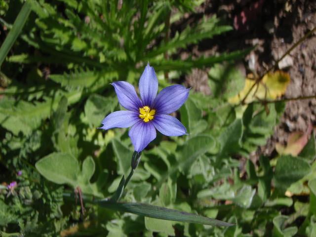 Sisyrinchium bellum (Western blue-eyed grass)