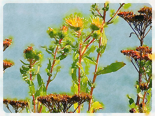 Flowering weeds at Whiffen Spit run through the photo app Waterlogue
