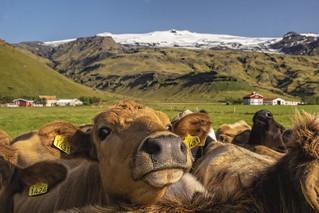 Nosy cows | by Wim van de Meerendonk, loving nature