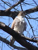Red-tailed Hawk by Team Mozz