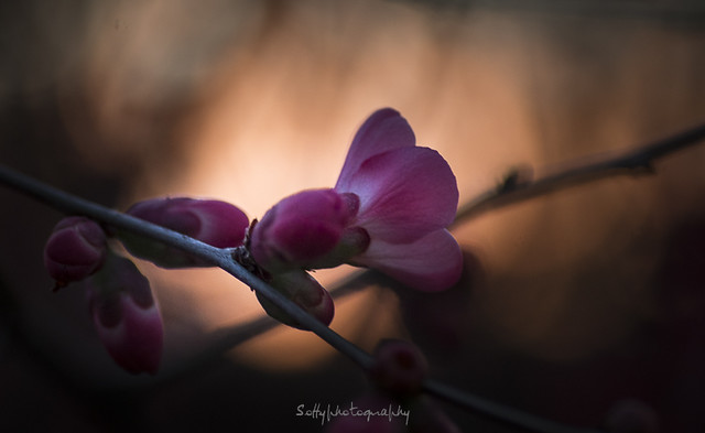 Fleur du soir