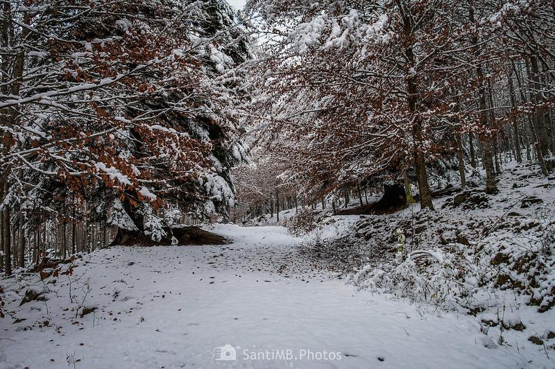Bòsc de Conangles nevado en otoño