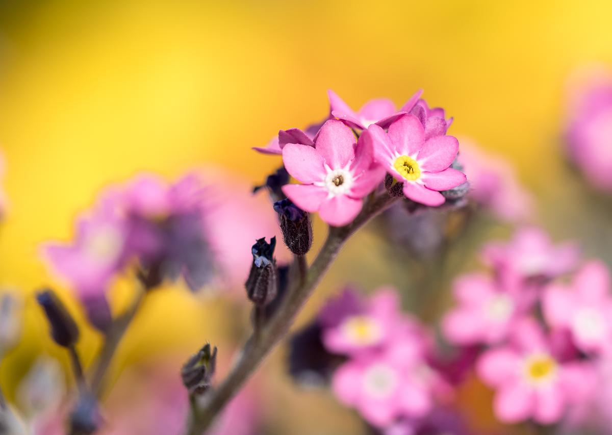 Les belles petites roses 47471008552_6710ef6c6a_o