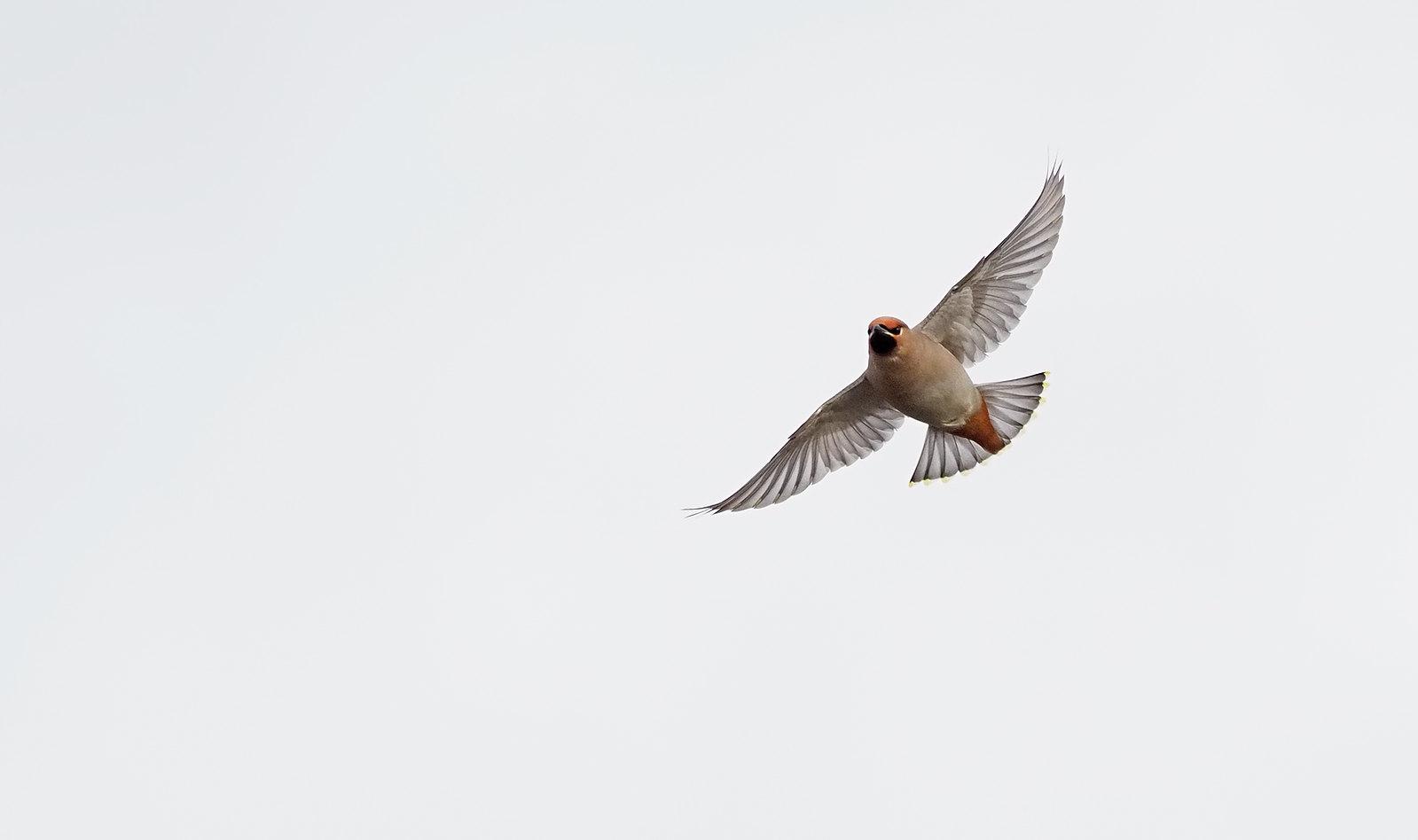 Waxwing - soaring..