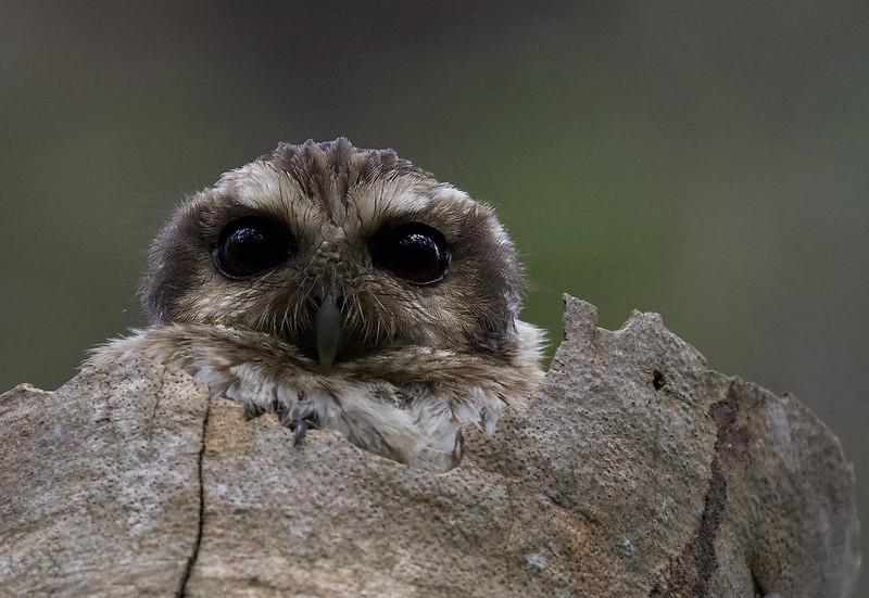 Bare-legged Owl, Margarobyas lawrencii Ascanio_Cuba 199A5094
