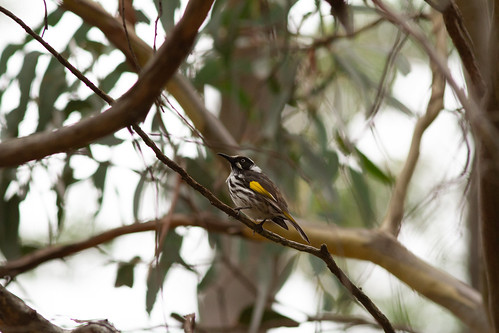 New Holland Honeyeater (Phylidonyris novaehollandiae) | by Katie Cordes