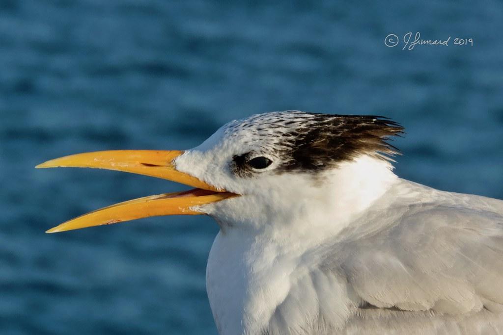 Royal Tern (Sterna maxima) Yawning On Deerfield Beach Pier