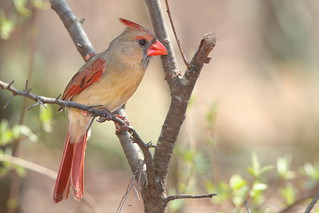 Northern Cardinal Female | by mnolen2