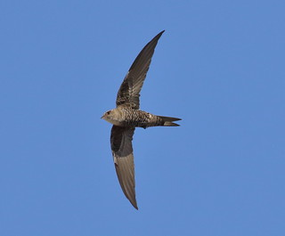 Fork-tailed Swift Apus pacificus