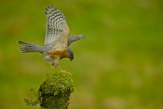 SPARROWHAWK (M) | by tony.cox27