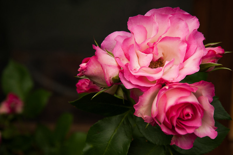Обои макро, фон, розы, лепестки, бутоны картинки на рабочий стол, раздел цветы - скачать