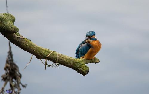 kingfisher. (Explored).