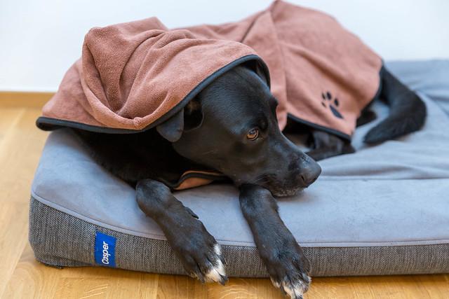 Liegender schwarzer Hund ist zugedeckt mit schnelltrocknendem Hundebademantel aus Mikrofaser