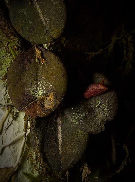 Acianthera karlii, Atlantic rainforest, Brazil