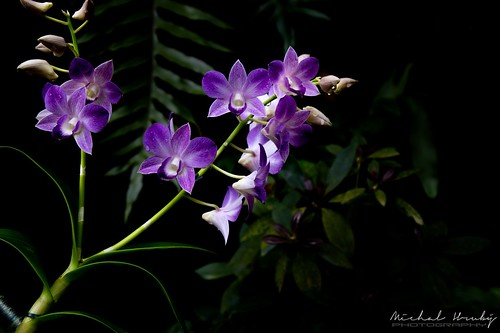 Orchid   by Michal Hruby Photography