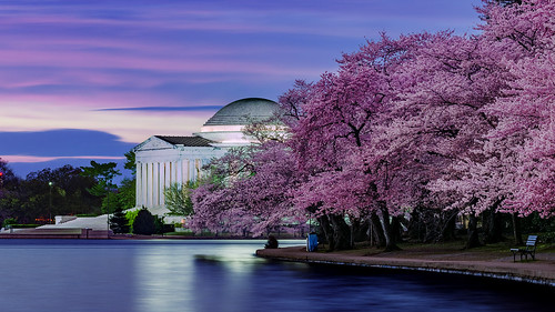 Cherry Blossoms Dawn with the Jefferson Memorial