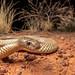 Mulga Snake (Pseudechis australis) by elliotbudd