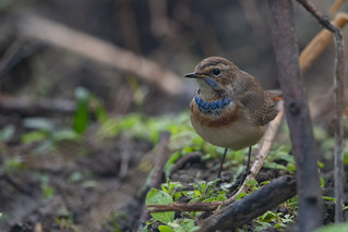 Bluethroat - Luscinia svecica | by Jono Dashper Wildlife