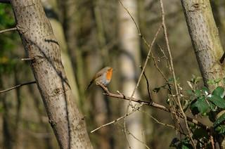 River Aire Robin