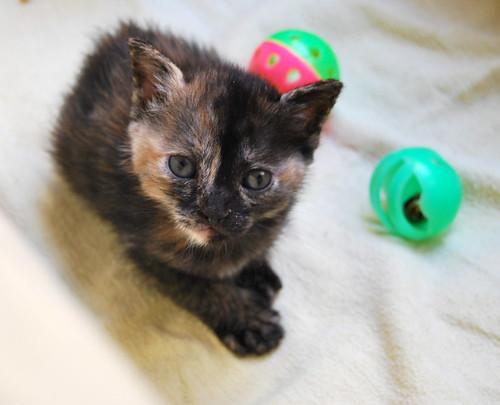 Narubi, gatita carey de cara bicolor amorosa esterilizada, nacida en Marzo´19, en adopción. Valencia RESERVADA. 47599742311_dff958b124