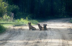 Canis lupus familiaris --  Dogs on the road  2707