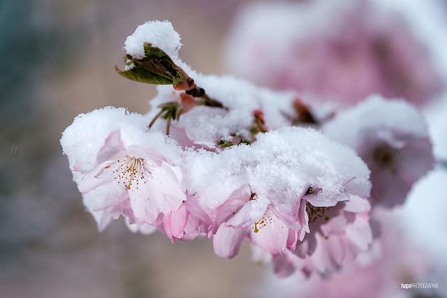 Swabian cherry blossom